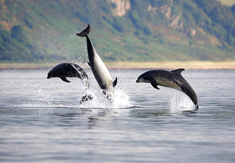 Three adult Bottlenose Dolphins (Tursiops truncatus) breaching together, socialising in the Moray Firth, Scotland. - 930-101