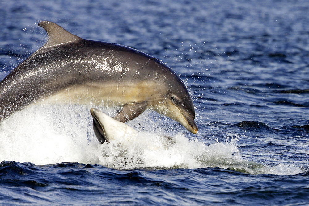 Bottlenose dolphins (Tursiops truncatus) two breaching together in the Moray Firth, Scotland - 930-103