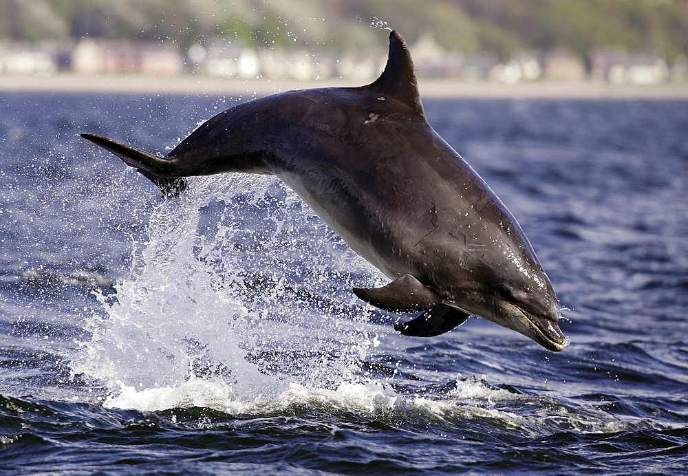 Bottlenose Dolphin (Tursiops truncatus) breaching in front of the camera at Chanonry Point, Moray Firth. - 930-104