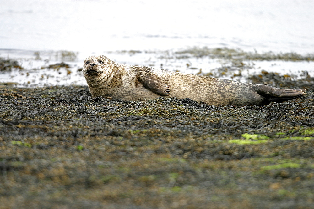 Harbour / Common seal (Phoca vitulina) resting as tide approaches. NE Scotland   (RR) - 930-108