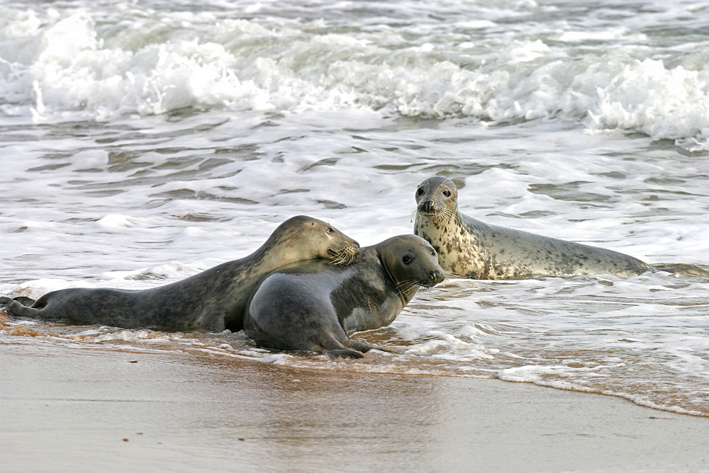 Male Atlantic grey seal (Halichoerus grypu) with two female seals. NE Scotland   (RR) - 930-109