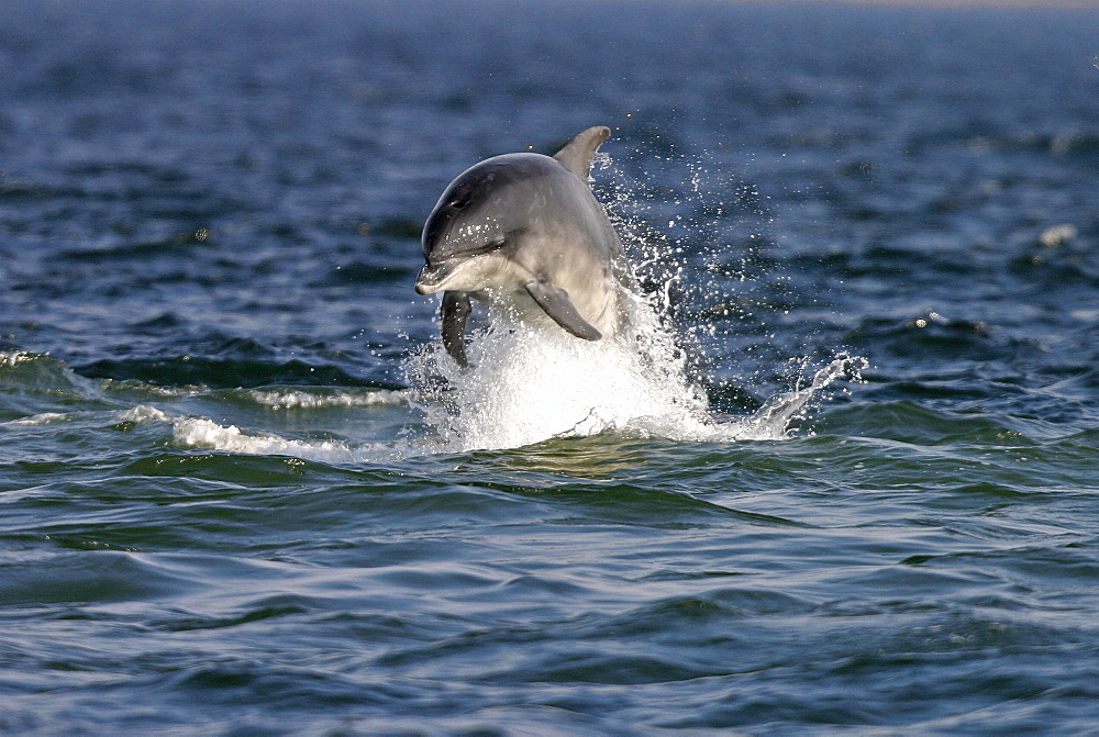 Bottlenose dolphin (Tursiops truncatus truncatus) leaping towards the camera. Moray Firth, Scotland   (RR) - 930-11