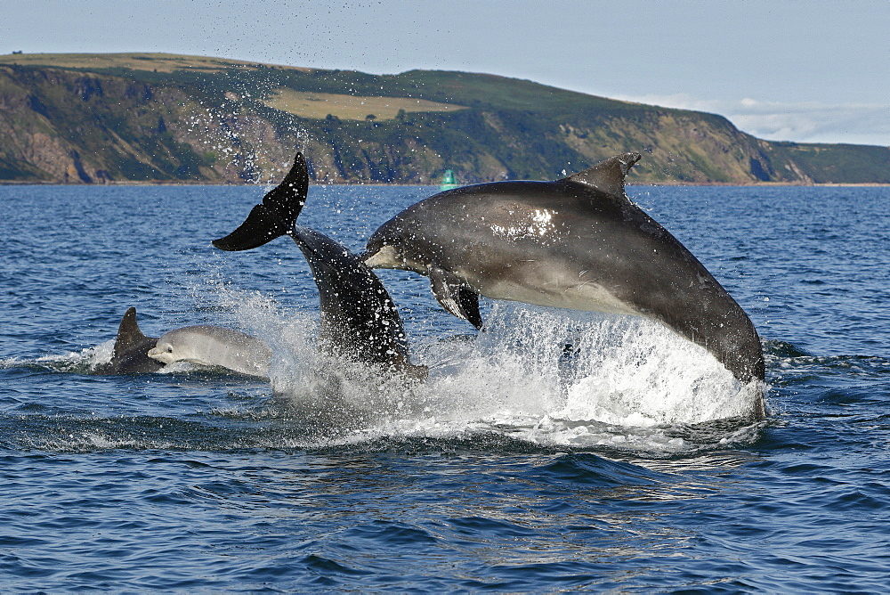 Bottlenose Dolphins (Tursiops truncatus) in the Moray Firth, Scotland - 930-114