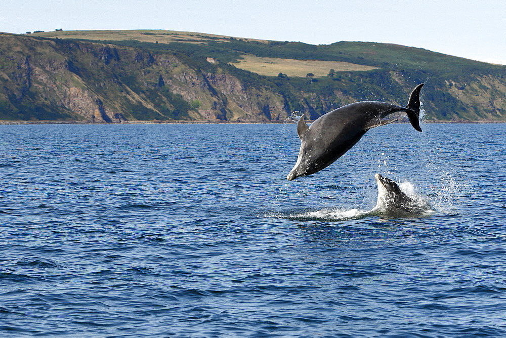 Bottlenose Dolphins (Tursiops truncatus) in the Moray Firth, Scotland - 930-115