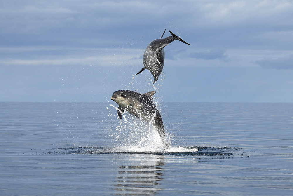 Bottlenose Dolphins (Tursiops truncatus) in the Moray Firth, Scotland - 930-116