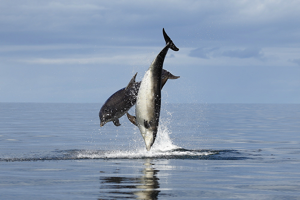 Bottlenose Dolphins (Tursiops truncatus) in the Moray Firth, Scotland - 930-117