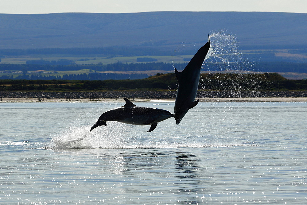 Bottlenose Dolphins (Tursiops truncatus) in the Moray Firth, Scotland - 930-120