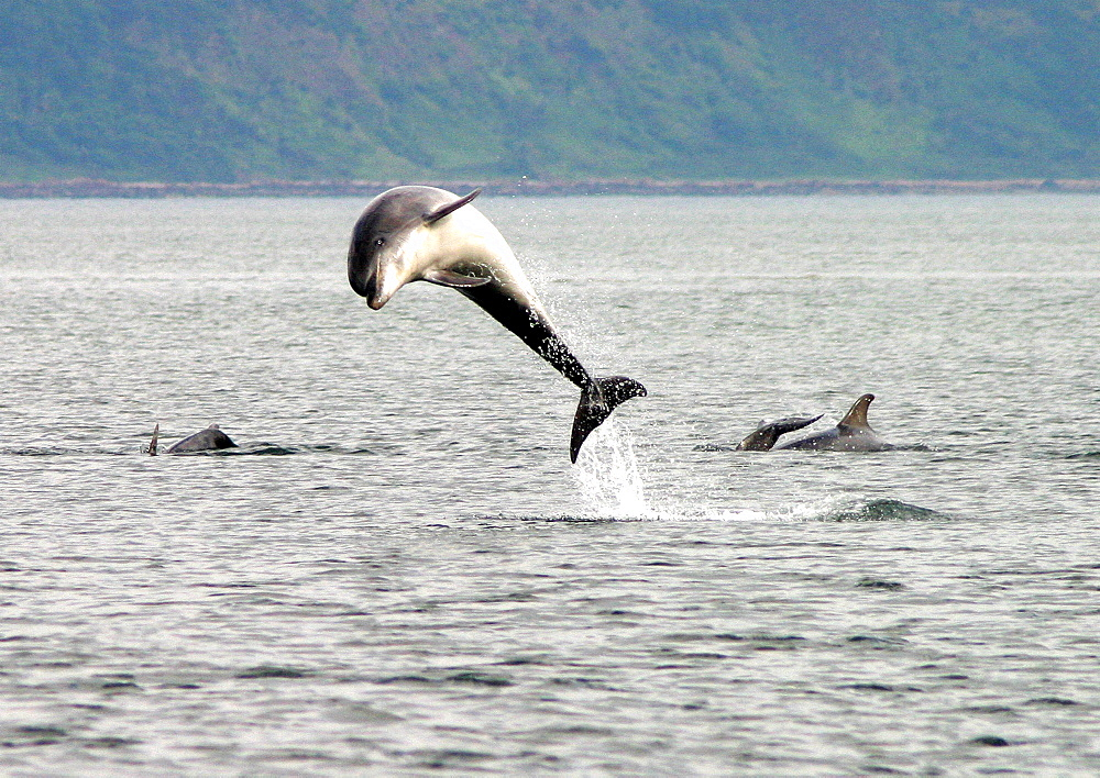 Bottlenose dolphin (Tursiops truncatus truncatus), from a group, leaping clear of the surface. Moray Firth, Scotland - 930-15