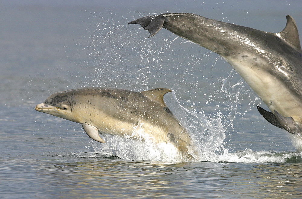 Bottlenose dolphins (Tursiops truncatus truncatus):mother and calf leaping together. Moray Firth, Scotland - 930-2