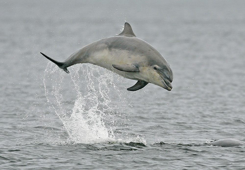 A young Bottlenose Dolphin (Tursiops truncatus) breaches from the Moray Firth, Scotland. - 930-22