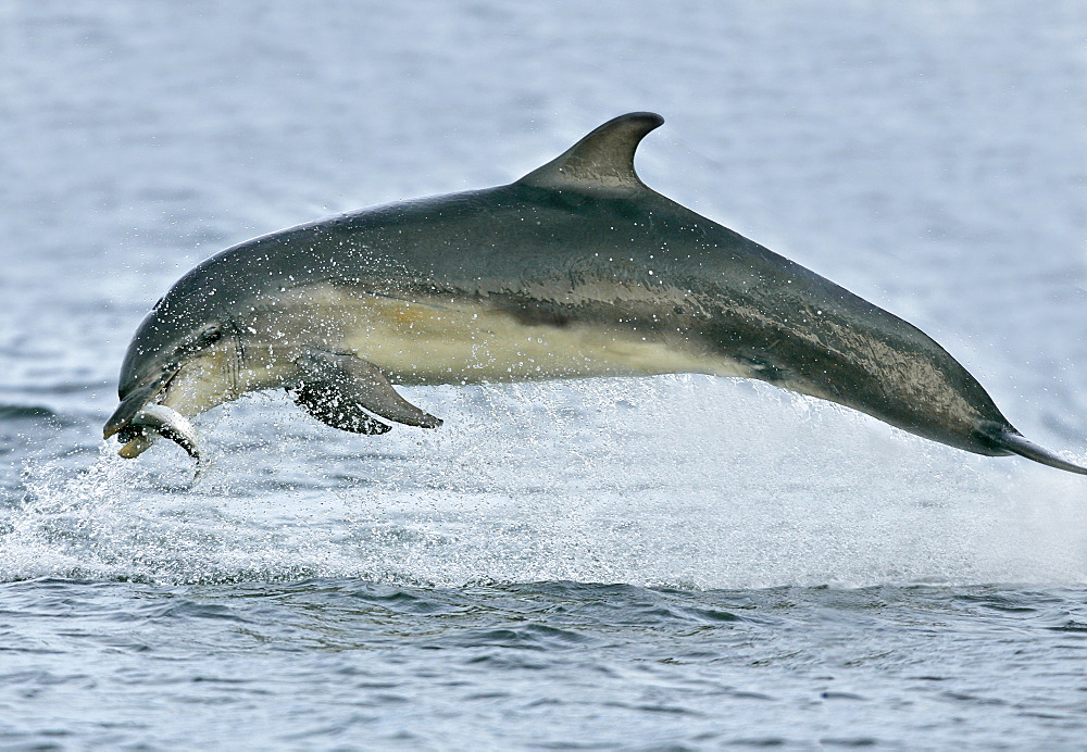 A young Bottlenose Dolphin (Tursiops truncatus) breaches with a captured fish in it's mouth from the Moray Firth, Scotland. - 930-26