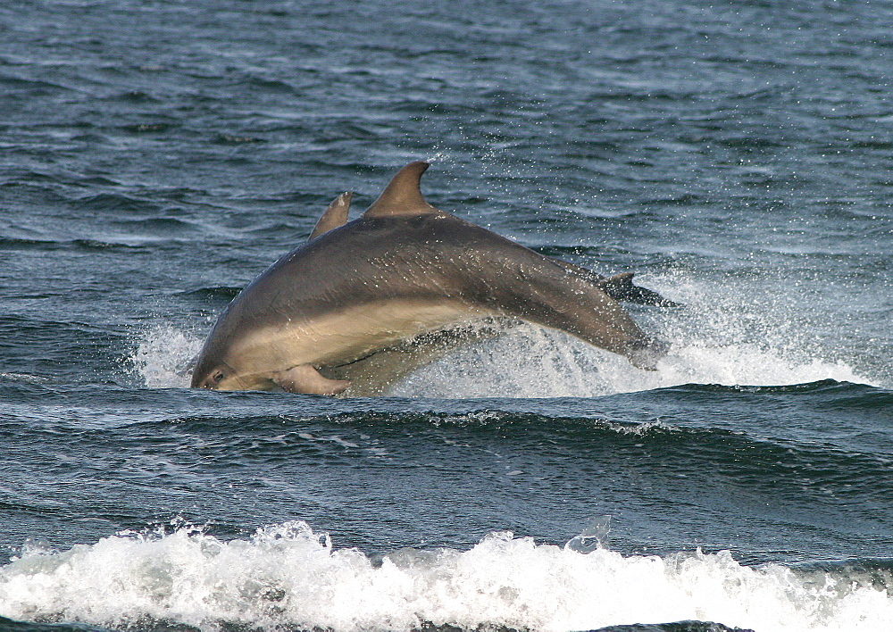 Two Bottlenose dolphins (Tursiops truncatus truncatus) leaping together close to the shore. Moray Firth, Scotland - 930-3