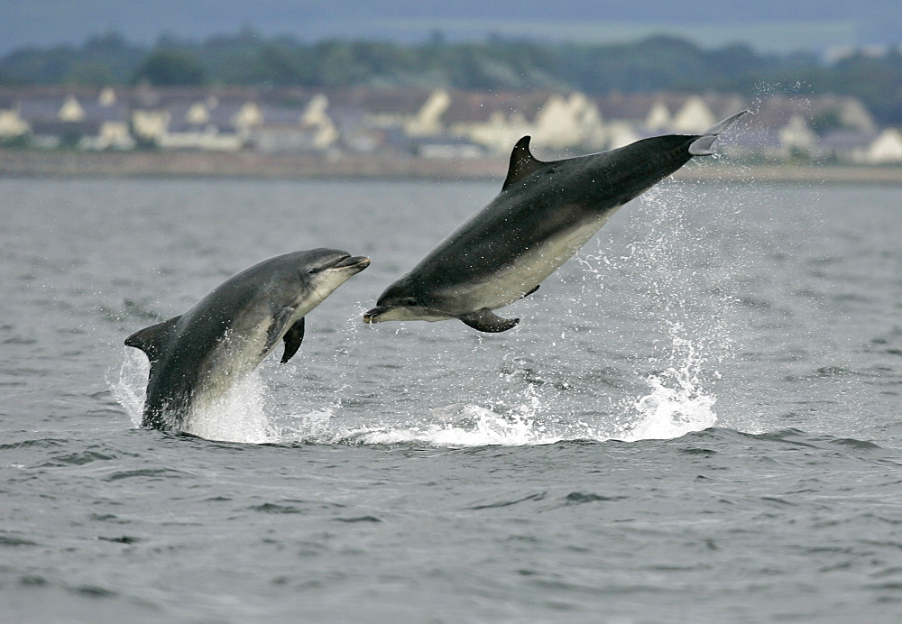 A pair of Bottlenose Dolphins (Tursiops truncatus) breach from the water at Chanonry Point with the houses of Arderseir in the background. Moray Firth, Scotland. - 930-30