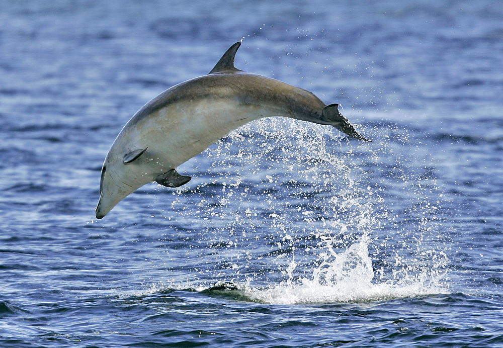 A young Bottlenose Dolphin calf (Tursiops truncatus) breaching from the Moray Firth, Scotland. - 930-33