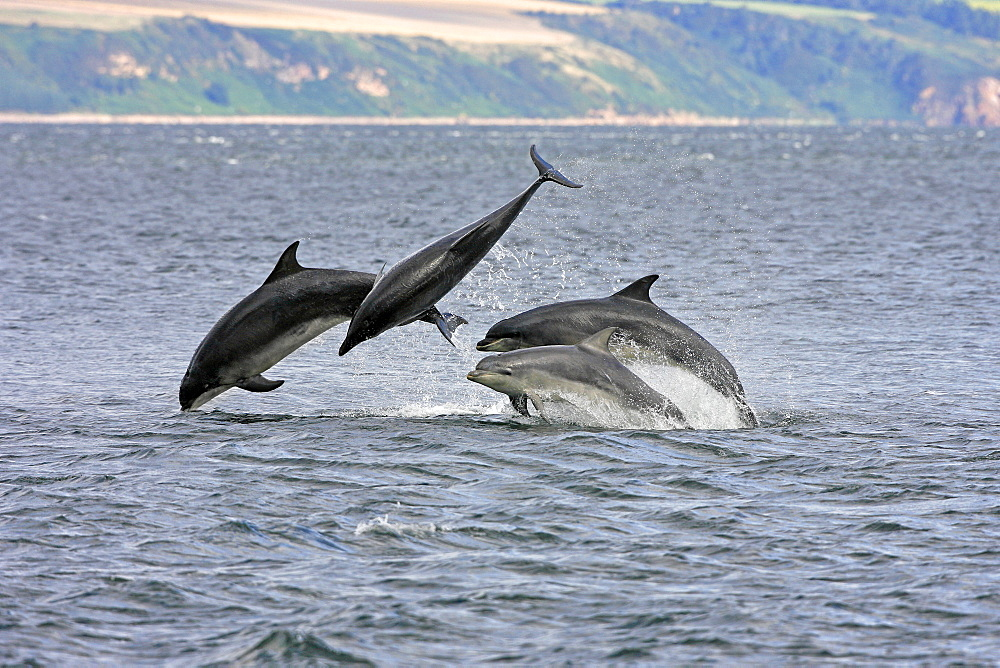 A calf and three adult bottlenose dolphins (Tursiops truncatus) breaching from the water, Moray Firth, Scotland