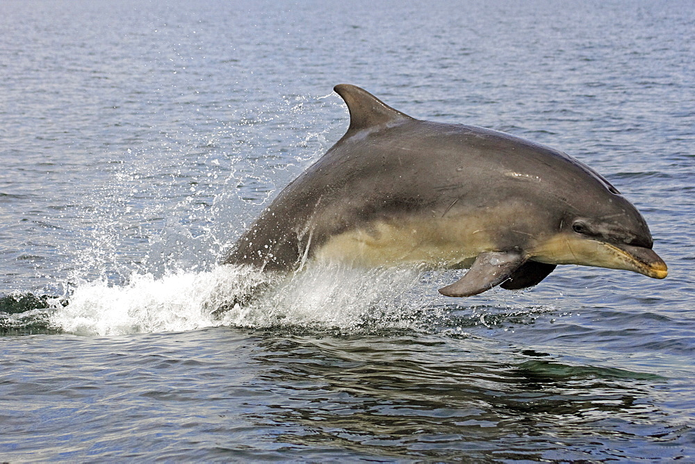 A young Bottlenose Dolphin (Tursiops truncatus) breaching from the water of the Moray Firth, Scotland - 930-42