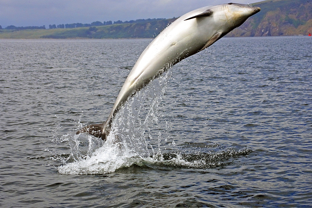 A young Bottlenose Dolphin (Tursiops truncatus) breaching from the water of the Moray Firth, Scotland - 930-43