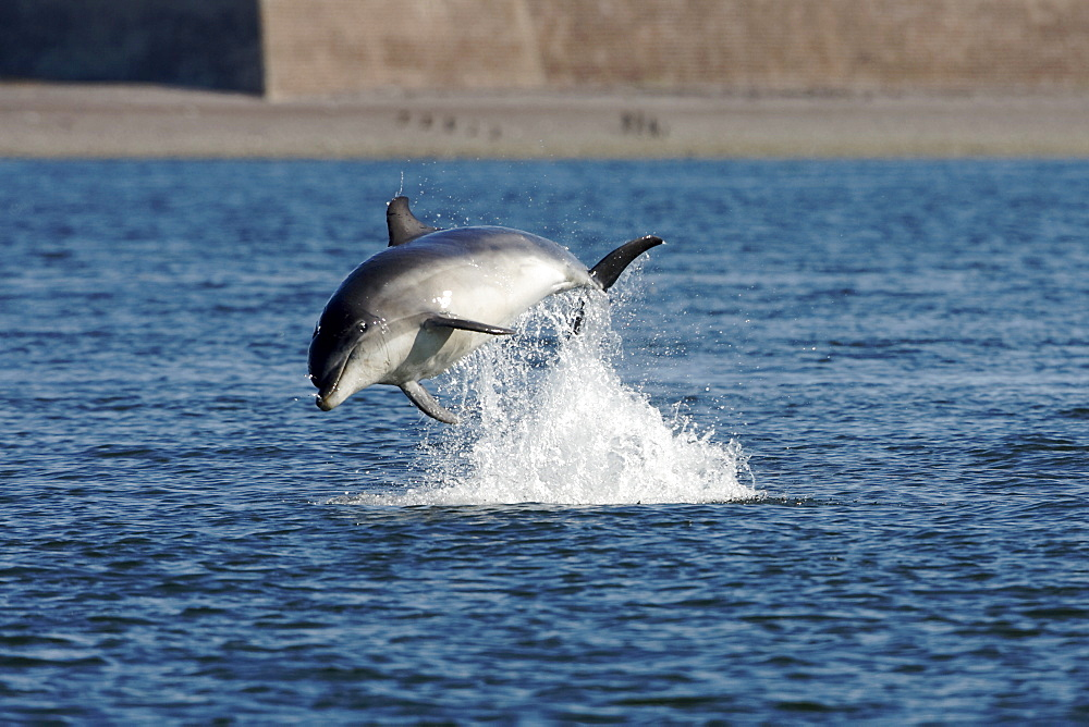 A juvenile Bottlenose dolphin (Tursiops truncatus) breaching from the water near Chanonry Point, Moray Firth, Scotland showing far shore and wall of Fort George. - 930-46