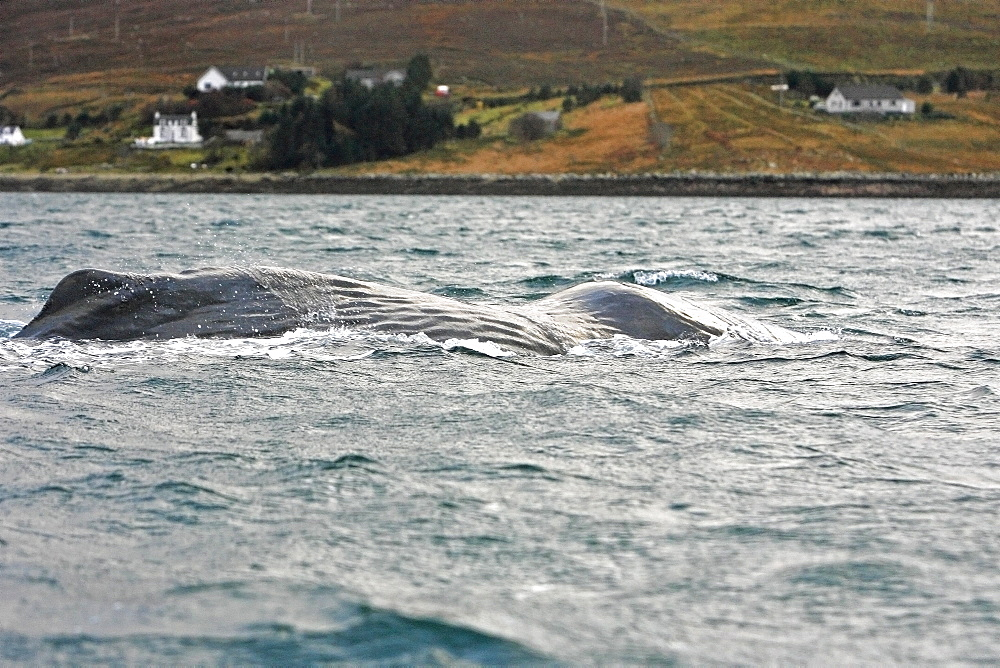 An emaciated bull Sperm Whale (Physeter macrocephalus) surfacing to breathe in Loch Ainort, a sea loch on the East coast of the Isle of Skye, Scotland with the village of Luib in the background.   (Restricted Resolution, please contact us).