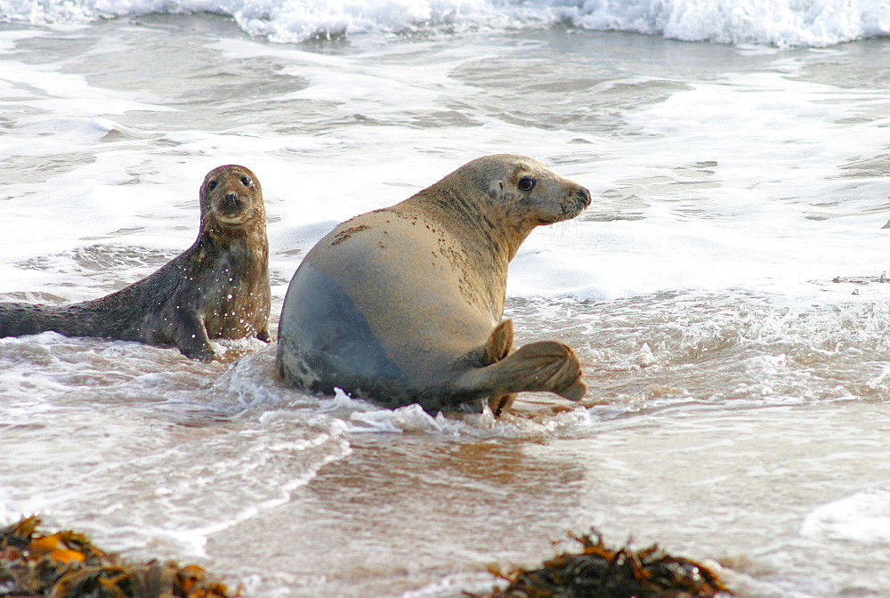 Female Atlantic grey seal (Halichoerus grypu) with her pup. NE Scotland   (RR) - 930-50