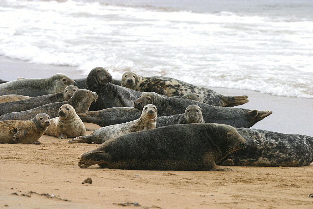Atlantic grey and Common seals at same haul out site with males, females and pups. NE Scotland    (RR) - 930-52