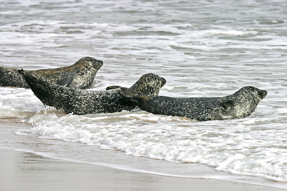 Harbour / Common seals (Phoca vitulina) entering the surf. NE Scotland   (RR) - 930-53