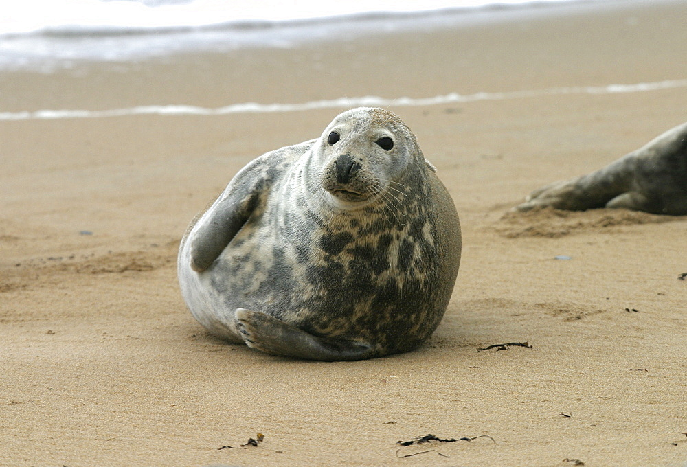 Atlantic grey seal (Halichoerus grypu) at haul out site. NE Scotland   (RR)