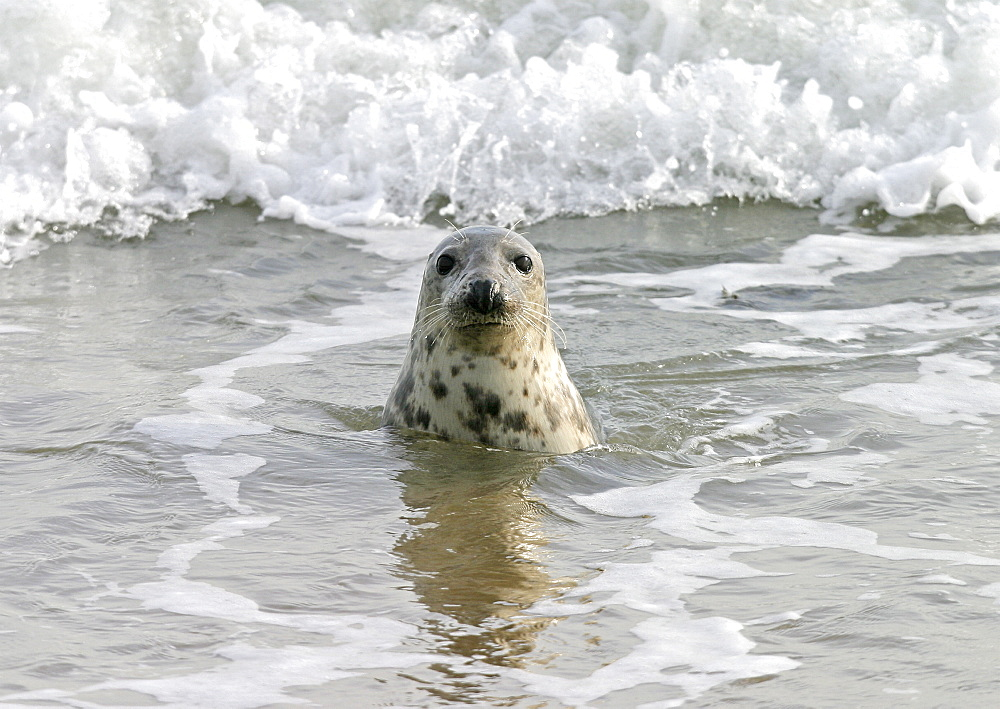 Atlantic grey seal (Halichoerus grypu) in surf. NE Scotland   (RR) - 930-55