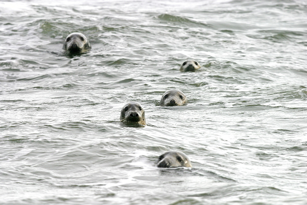 Atlantic grey seals (Halichoerus grypu) with heads above sea surface. NE Scotland   (RR)