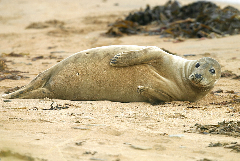 Female Atlantic grey seal (Halichoerus grypu) at haul out site. NE Scotland   (RR)