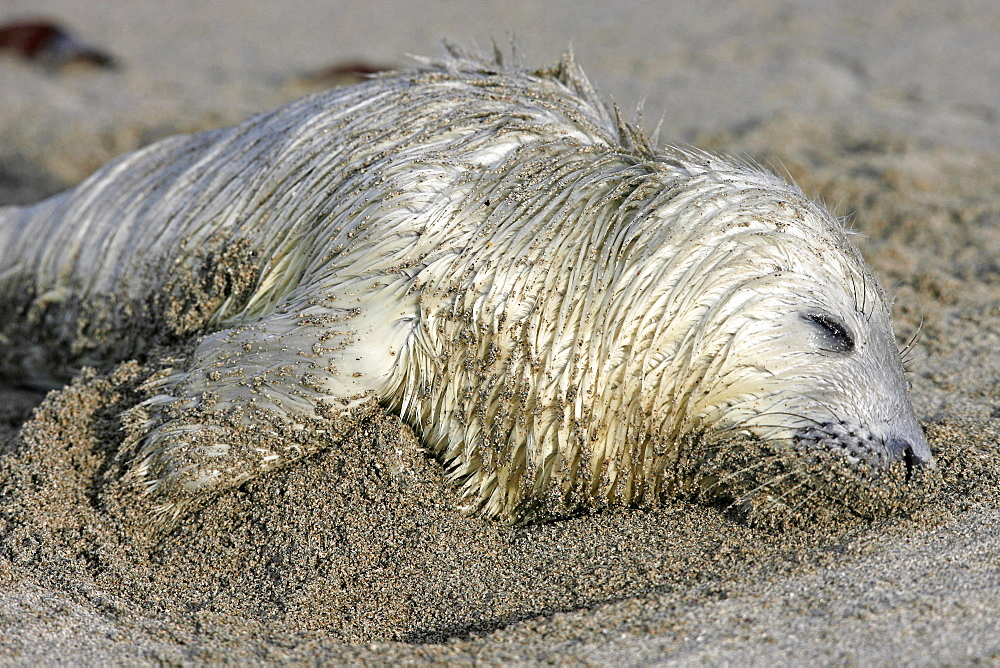 A dead Grey Seal pup (Halichoerus grypus) on a sandy beach, Pentland Firth, Scotland.