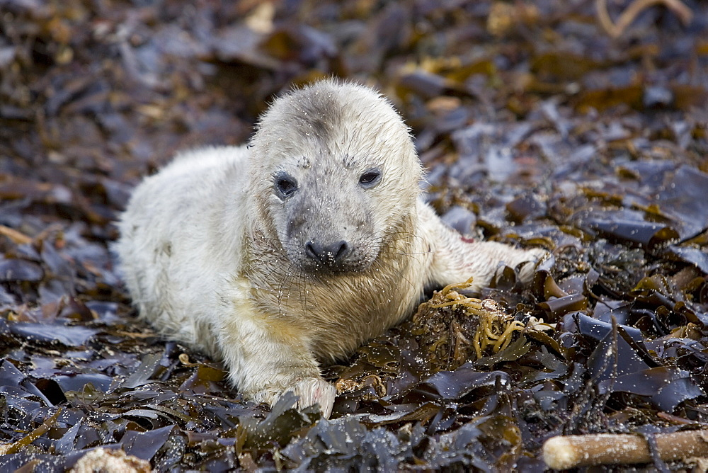 A Grey Seal pup (Halichoerus grypus) resting on seaweed, Pentland Firth, Scotland. - 930-63