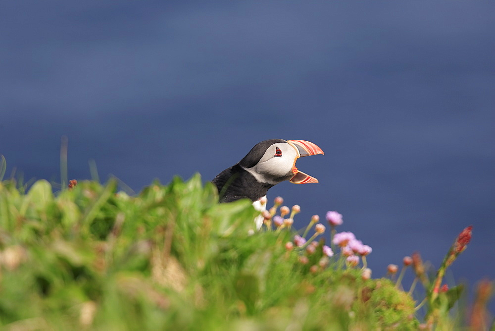 A Puffin (Fratercula arctica) calling to it's mate with open beak in grass cliff habitat, Handa Island, Scotland. - 930-68