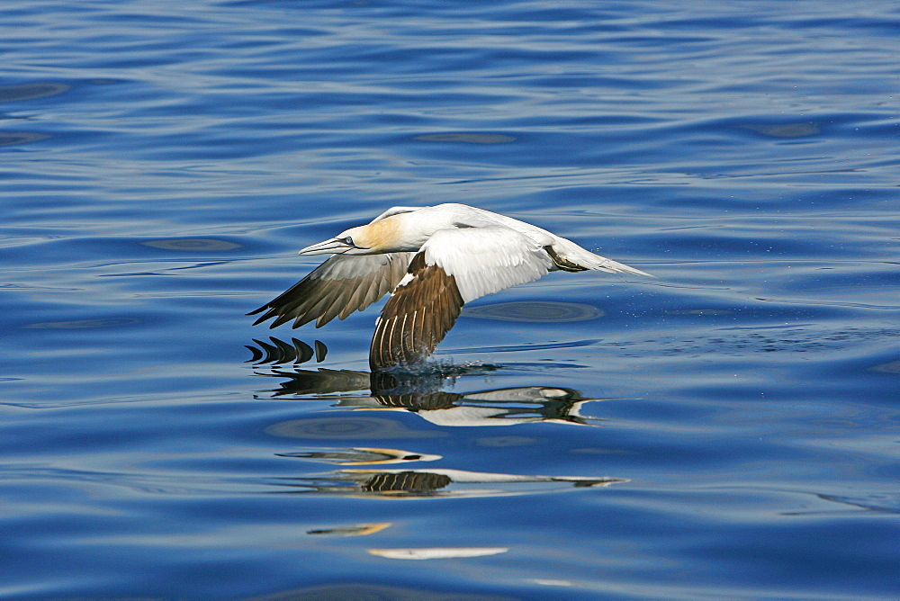 An adult Gannet (Sula bassana) taking off from the sea surface, Sound of Eigg, West Coast of Scotland. - 930-73