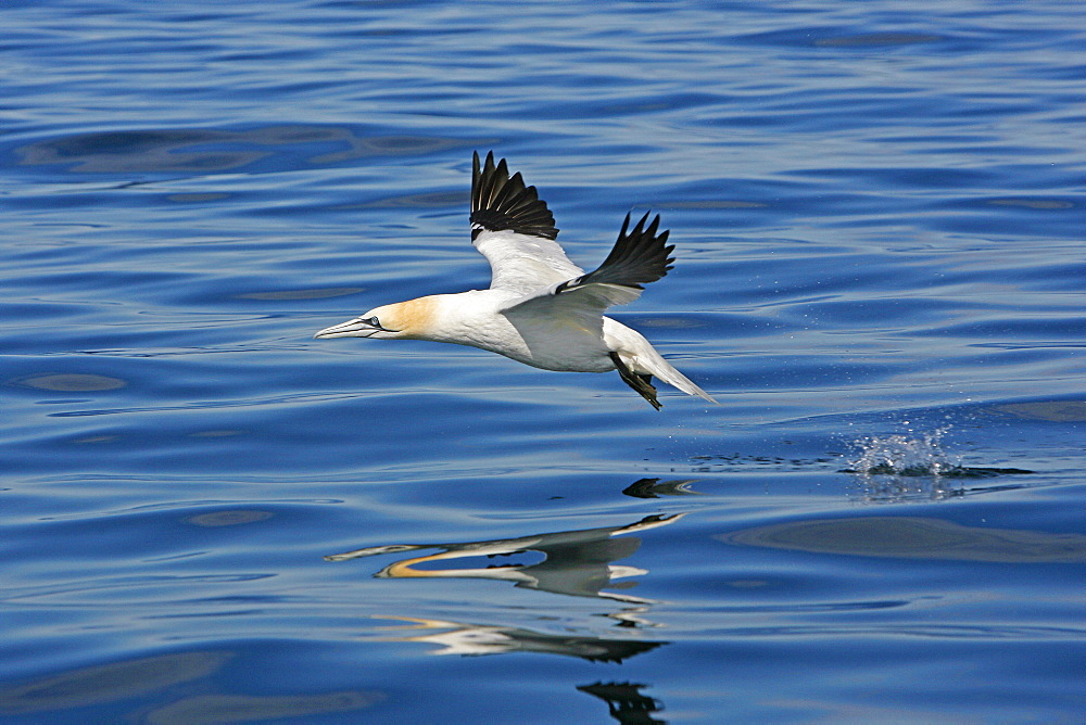 An adult Gannet (Sula bassana) taking off from the sea surface, Sound of Eigg, West Coast of Scotland. - 930-74