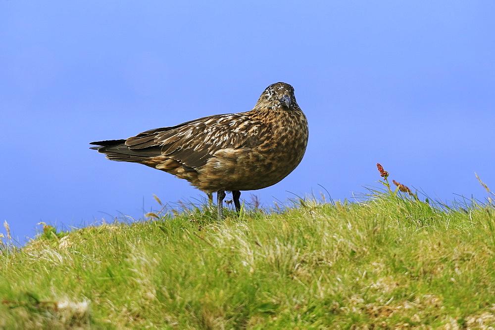 A Great Skua (Stercorarius skua) standing on grass habitat, Handa Island, Scotland. - 930-75