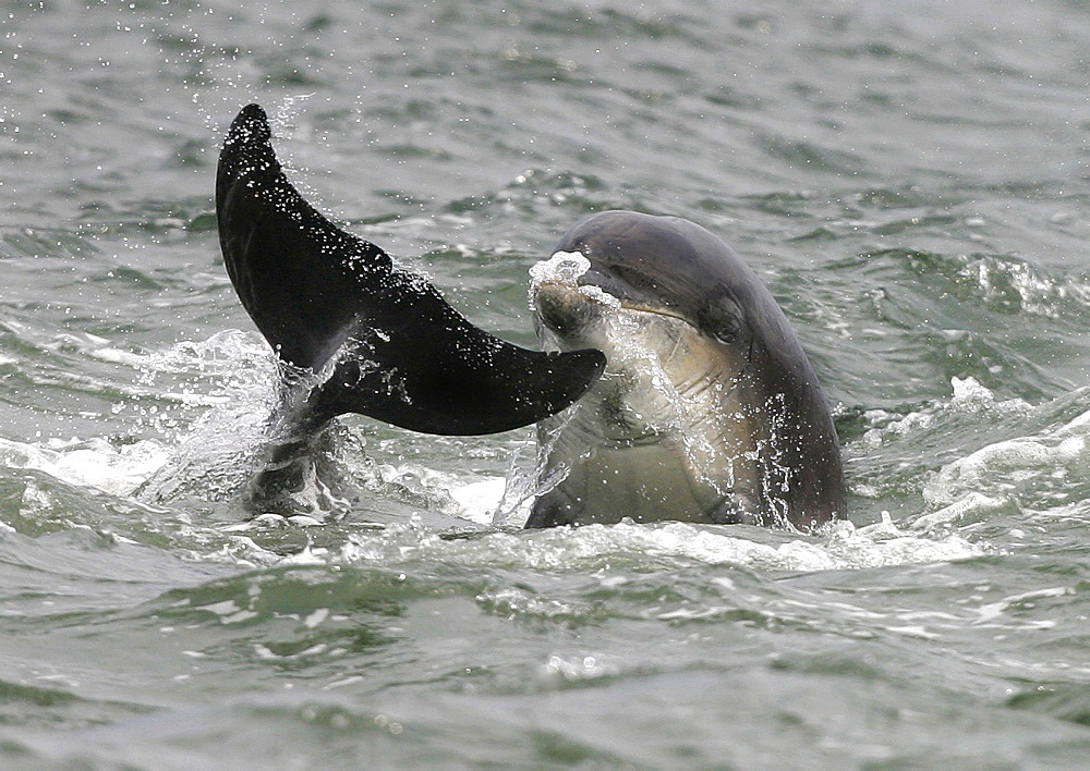 Bottlenose dolphins (Tursiops truncatus truncatus) play fighting with the tail of one and head of the other, together at the surface. Moray Firth, Scotland - 930-8