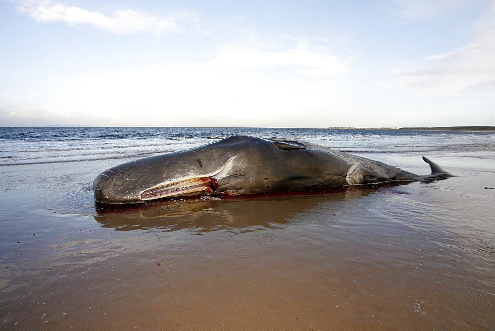 Stranded dead bull Sperm Whale (Physeter macrocephalus) lying on Roseisle Beach, North East Scotland. - 930-80