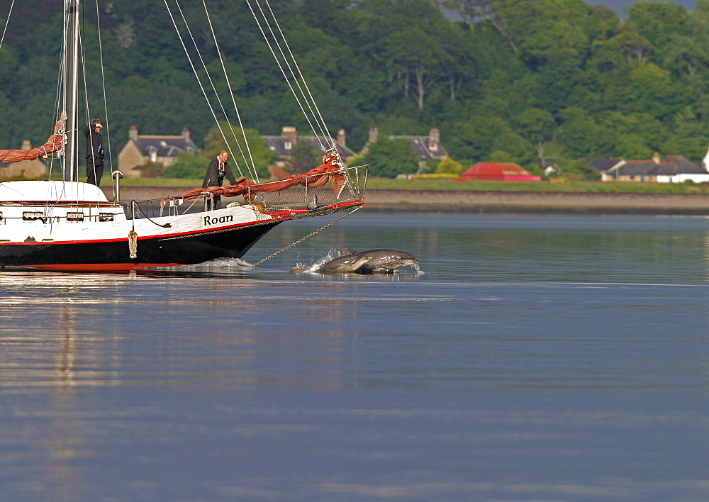 Bottlenose dolphins (Tursiops truncatus truncatus) bowriding a local sailing boat. Moray Firth, Scotland - 930-82