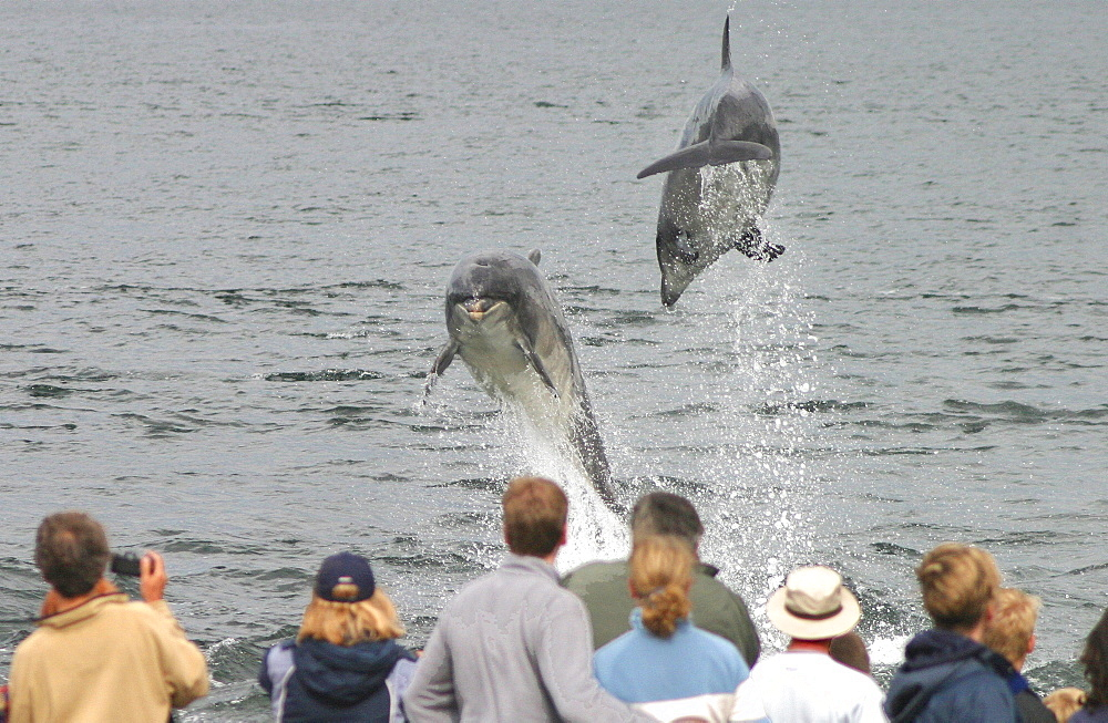 Dolphin watchers being eye balled by two leaping bottlenose dolphin (Tursiops truncatus truncatus) at Chanonry Point. Moray Firth, Scotland - 930-83
