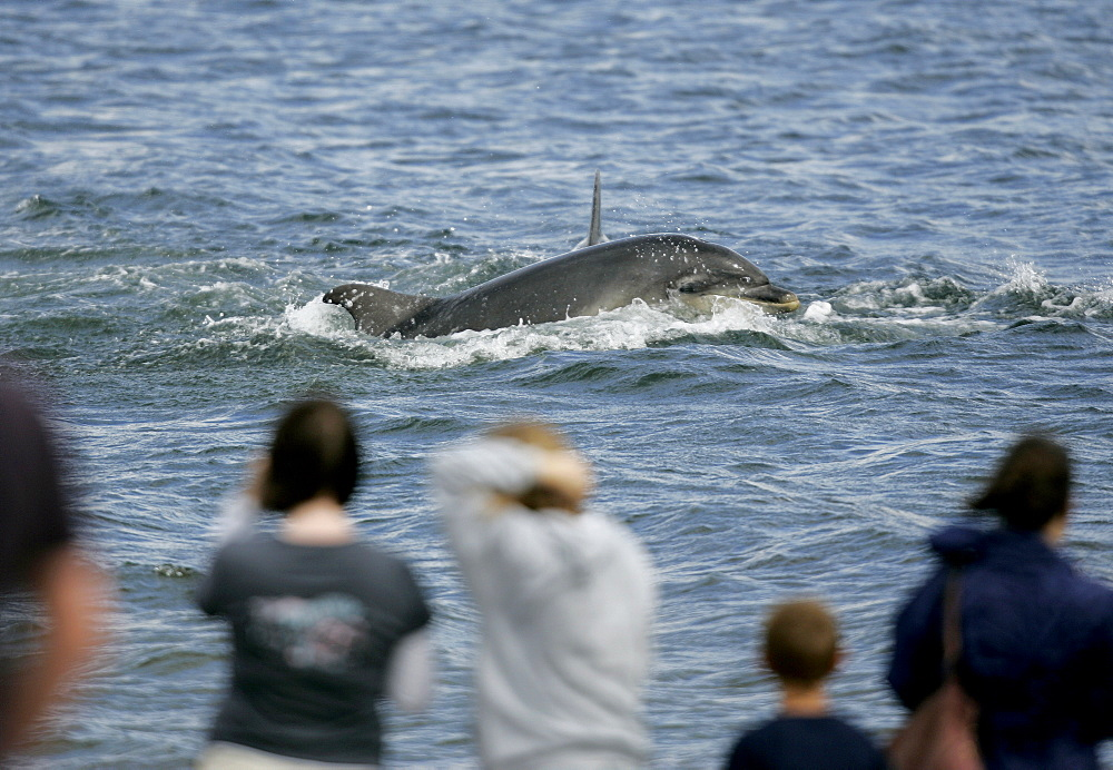 A Bottlenose Dolphin (Tursiops truncatus) surfaces to breathe in front of dolphin watchers standing on the beach at Chanonry Point, Moray Firth, Scotland. - 930-84