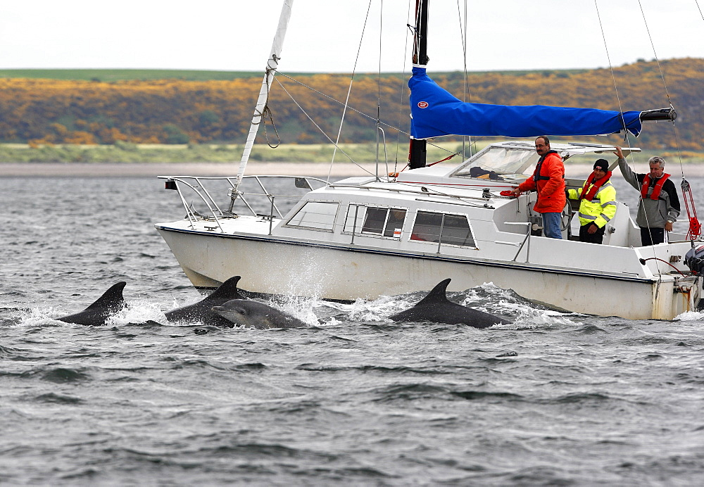 Four Bottlenose Dolphins (Tursiops truncatus) surfacing together beside a motor yacht, Moray Firth, Scotland. - 930-85