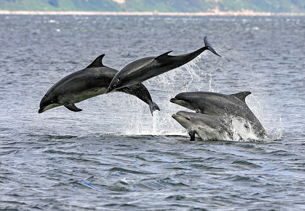 Four Bottlenose dolphins (Tursiops truncatus) in the Moray Firth socialising by breaching from the water. This type of behaviour highlights why bottlenoses are such great favourites with the public. - 930-86