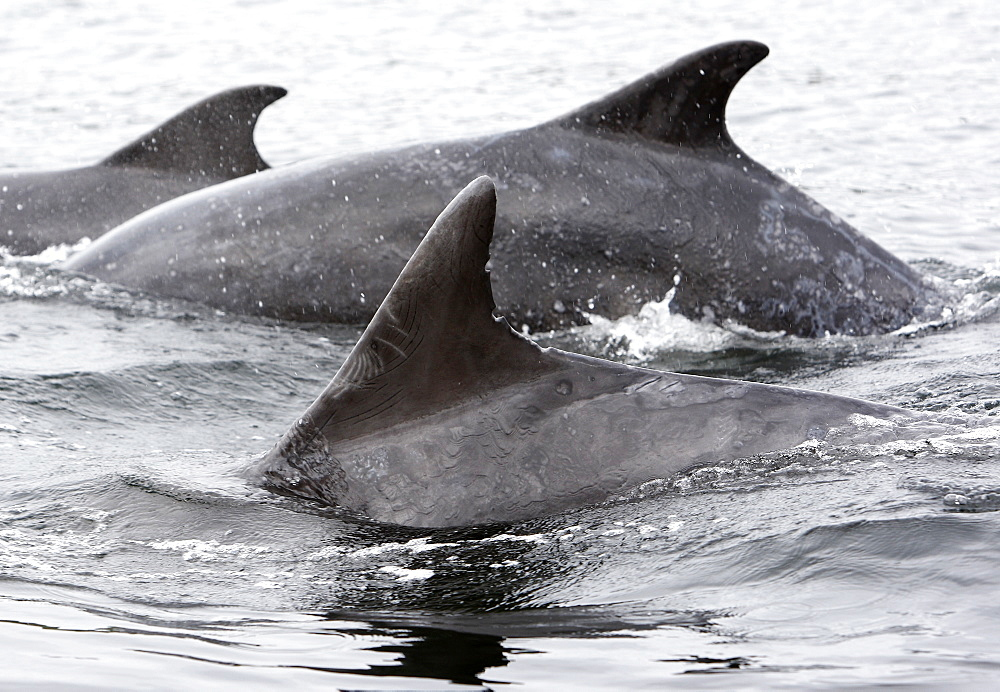 A heavily scarred dorsal fin of a Bottlenose Dolphin (Tursiops truncatus) tells of many encounters, some violent, with other dolphins in the Moray Firth, Scotland - 930-88