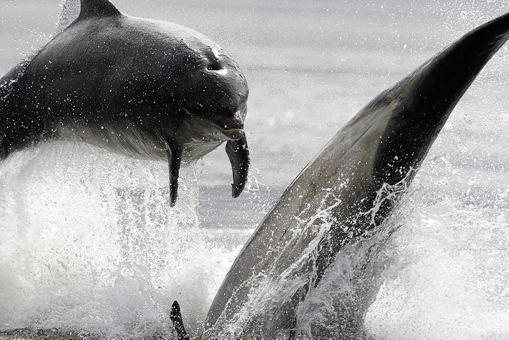 Two Bottlenose dolphins (Tursiops truncatus) breaching together in the Moray Firth, Scotland. - 930-89