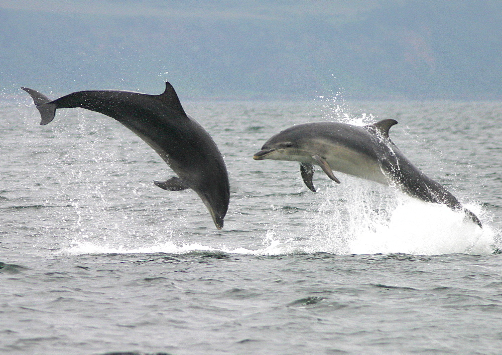 Two Bottlenose dolphins (Tursiops truncatus truncatus) leaping clear of the water together. Moray Firth, Scotland - 930-9