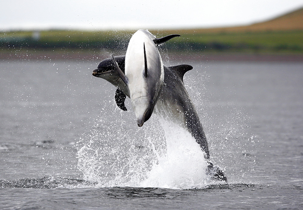 Two Bottlenose dolphins (Tursiops truncatus) breaching together in the Moray Firth, Scotland. - 930-91