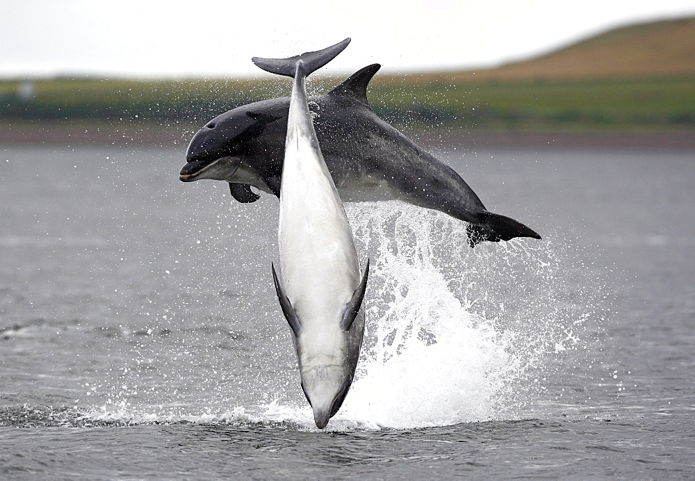 Two Bottlenose dolphins (Tursiops truncatus) breaching together in the Moray Firth, Scotland - 930-92