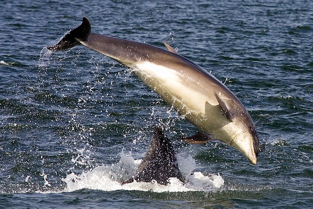 Bottlenose dolphins (Tursiops truncatus) two breaching together in the Moray Firth, Scotland - 930-93