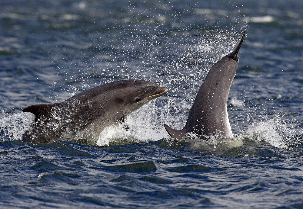 Two young Bottlenose dolphins (Tursiops truncatus) in the Moray Firth breaching in front of the camera, only the tail of one young animal visible. - 930-97